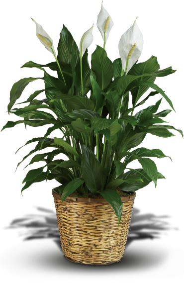 Peace Lily Spathiphyllum - Large