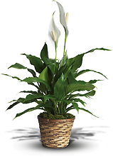 Peace Lily Spathiphyllum - Small